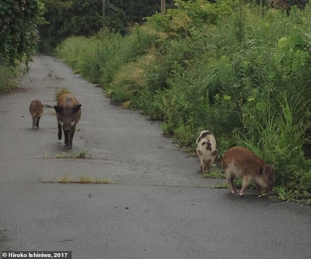 Радиация Фукусимы вызвала кжизни свиней-мутантов