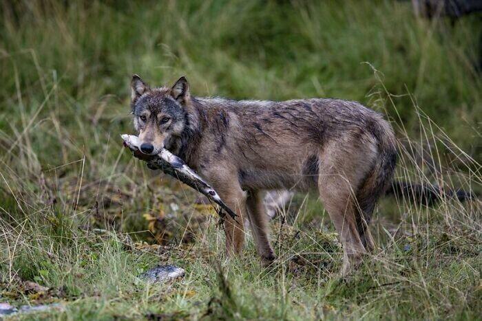"""3. В Британской Колумбии есть группа волков, известная как """"морские волки"""", и 90% их пищи поступает из моря. Их ДНК слегка отличается от ДНК обычных волков, и они каждый день проплывают по несколько километров в поисках пищи"""