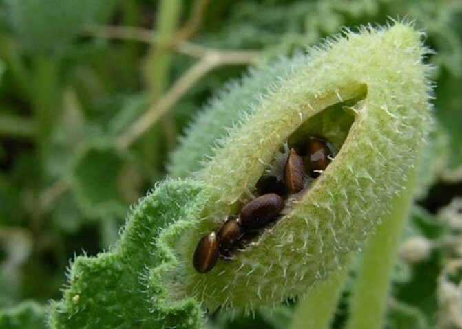 Растения-динамит, которые выстрелят так, чтобезушей останешься