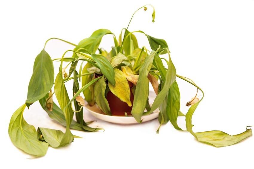 Какие причины провоцируют увядание листьев комнатных растений?