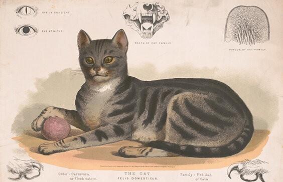 Кошка, Человек иихдруг - Эволюция