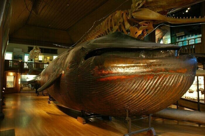 43. Единственное в мире чучело синего кита. Гётеборг, Швеция, 1865 г.