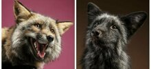 Pet Photographer Photographer Fell In Love With Foxes After Taking Their Photos In Her Studio