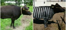 Scientists Are Amazed After Painting Cows In Zebra Stripes – They Get Bitten 50% Less Than Usual